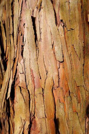 bark background: eucalyptus wood bark background texture wallpaper