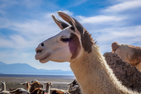 avaroa: Lamas Lamas herd in Eduardo Avaroa National Park, Bolivia Stock Photo
