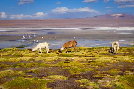 Lamas herd in Laguna colorada, sud Lipez Altiplano reserva Eduardo Avaroa, Bolivia