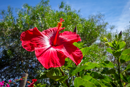 Red Hibiscus Flower Close Up Polynesian Symbol Stock Photo