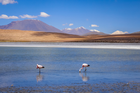 avaroa: Pink flamingos in altiplano laguna, sud Lipez reserva Eduardo Avaroa, Bolivia