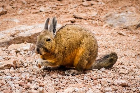 Southern viscacha in Altiplano desert, sud Lipez reserva Eduardo Avaroa, Bolivia