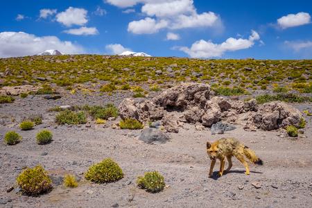 avaroa: Red fox in Altiplano desert, sud Lipez reserva Eduardo Avaroa, Bolivia Stock Photo