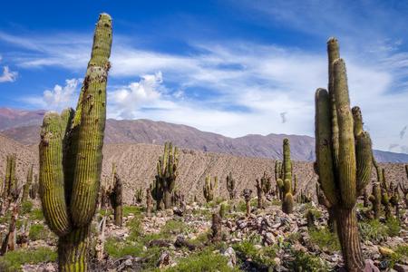 Giant cactus in the Tilcara quebrada moutains, Argentina