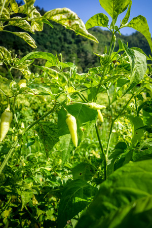 Chilli pepper plantation in Sidemen, Bali, Indonesia Imagens