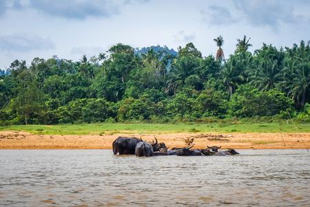 Wild buffalos in a River, Taman Negara national park, Malaysia, Asia