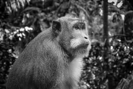 Monkey in the sacred Monkey Forest, Ubud, Bali, Indonesia