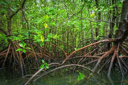 Mangrove swamp in Phang Nga Bay, Thailand