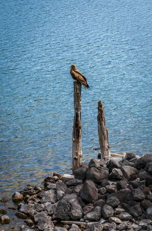 Black kite, Milvus migrans, on lake Chuzenji, Nikko, Japan