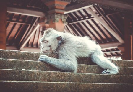 Monkey sleeping on a temple roof in the sacred Monkey Forest, Ubud, Bali, Indonesia