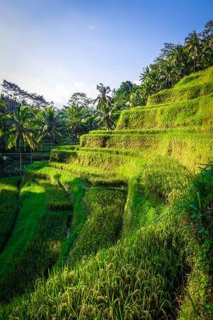 Paddy field rice terraces in ceking, Ubud, Bali, Indonesia