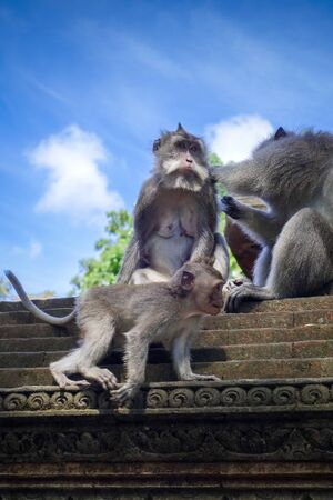 Monkeys on a temple roof in the sacred Monkey Forest, Ubud, Bali, Indonesia