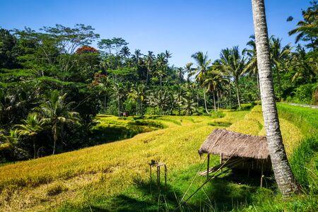 Paddy field in Gunung Kawi temple, Tampaksiring, Ubud, Bali, Indonesia