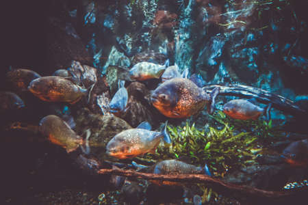 Red Piranha bank in a tropical river