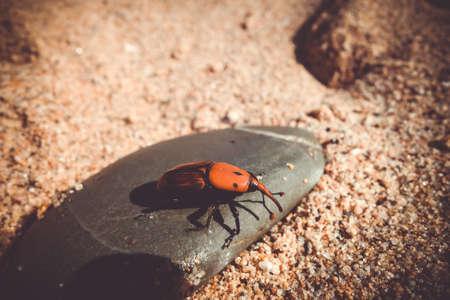 Red palm weevil snout beetle on a stone. Rhynchophorus ferrugineus