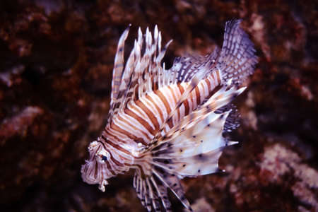 Red lionfish close-up view in the ocean