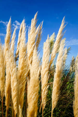 pampas grass - Cortaderia selloana - on a blue sky background Standard-Bild