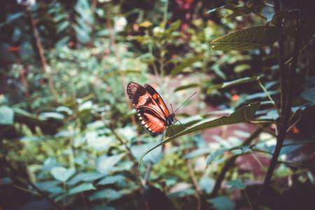Tropical monarch butterfly on a leaf in rainforest. Orange Dione Juno Standard-Bild