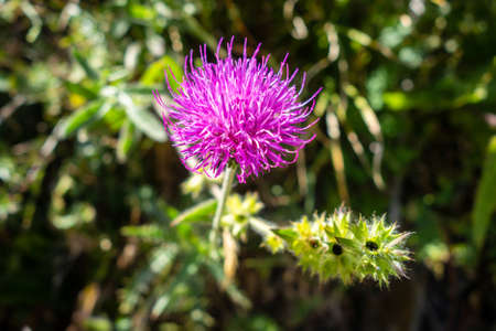 Cirsium flowers close up view in Vanoise national Park, France
