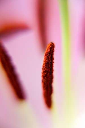 Lily flower stamens and pollen macro view. Abstract background