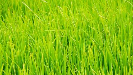 Green grass background texture straight  photo