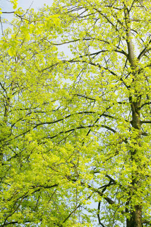 maintained: Beautiful green leaves of an American Yellow Wood make pattern background
