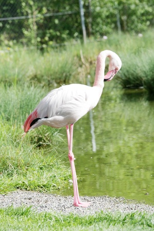 Flamingo Stock Photo - 14505305
