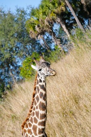 Giraffe (Giraffa camelopardalis) in South Africa  photo