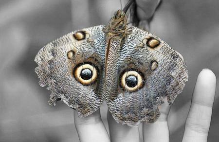open wings: Macro shot of Owl butterfly (Caligo)  Stock Photo