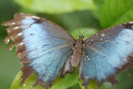 plants species: Macro colpo di farfalla blu morfo arroccato su una foglia. Focus sul corpo centrale e parte dell'ala sinistra.
