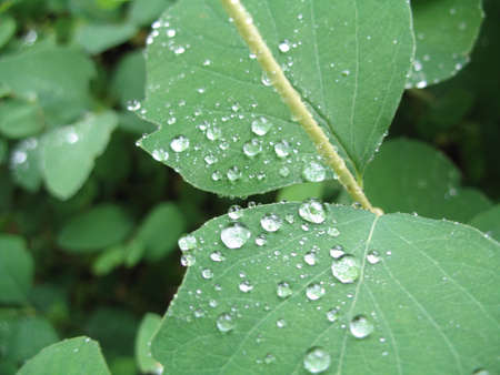 raindrops on the green leaves photo