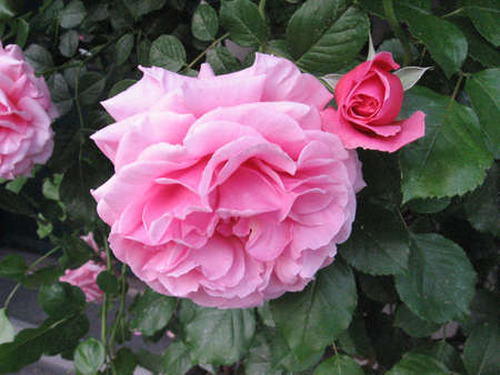 a pink rose Stock Photo