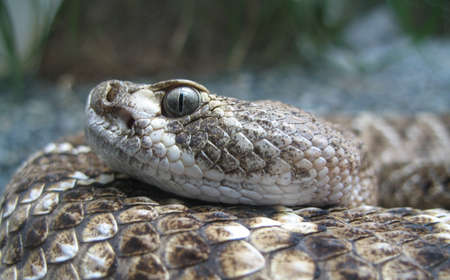 deadly: deadly look of the snake Stock Photo