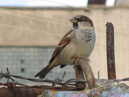 sparrow on the metal wire photo
