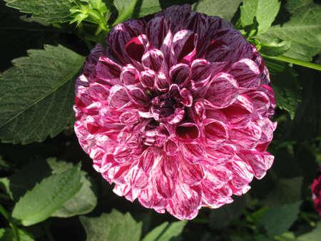 whitw: flower - dahlia