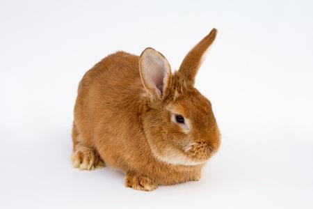 fulvous: Redhair pet rabbit sitting on white background Stock Photo