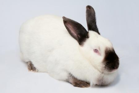 fulvous: White pet rabbit sitting on white background