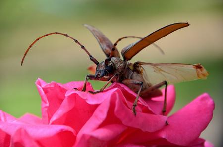 cerambycidae on the rose