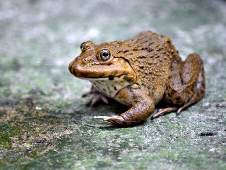 The brown frog is an amphibian animal in Asia. Stock Photo