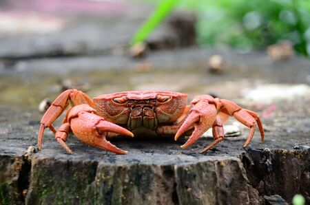 Red crabs live in the creek in the deep forest.Red crabs live in the creek in the deep forest.