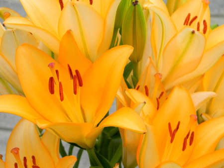 aciculum: close up of a beautiful Lily in natural light