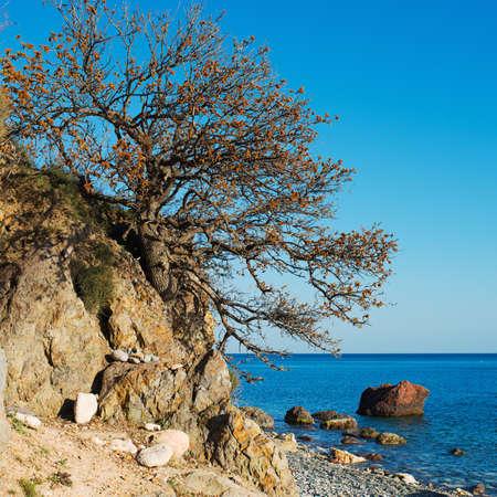 centenarian: Crimean tree over sea landscape.  Stock Photo