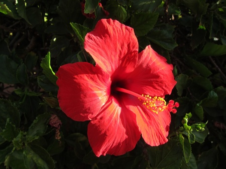 sun drenched: Red Sun-drenched Hibiscus Flower