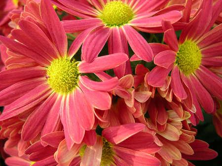 Pink and Yellow Gerbera Daisy Bunch photo