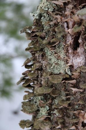 bracket: Bracket Fungus on Tree in the Winter