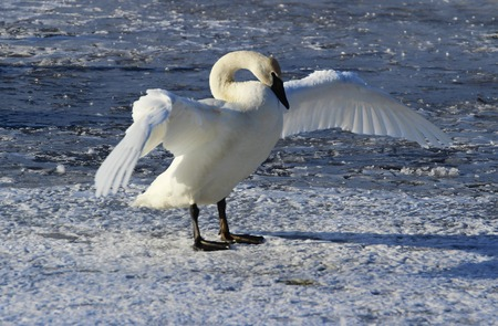 trumpeter swan: Trumpeter Swan Flapping and Stretching