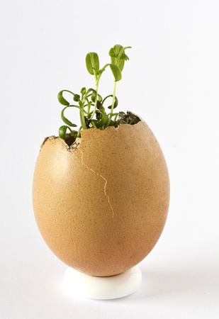 Garden cress growing in an empty egg shell