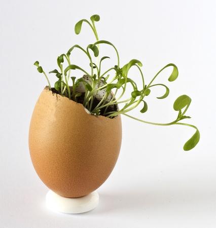Garden cress growing in an empty egg shell