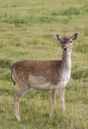 Beautiful doe standing in the meadow front view
