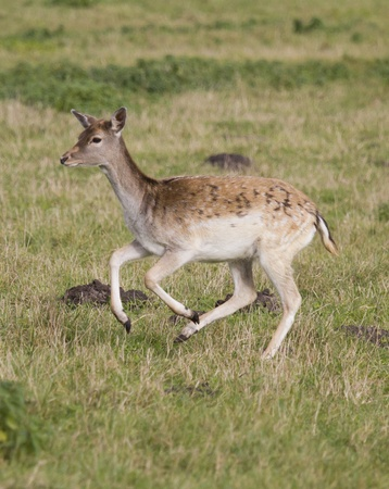 Young doe running across the meadow Stock Photo - 13034353